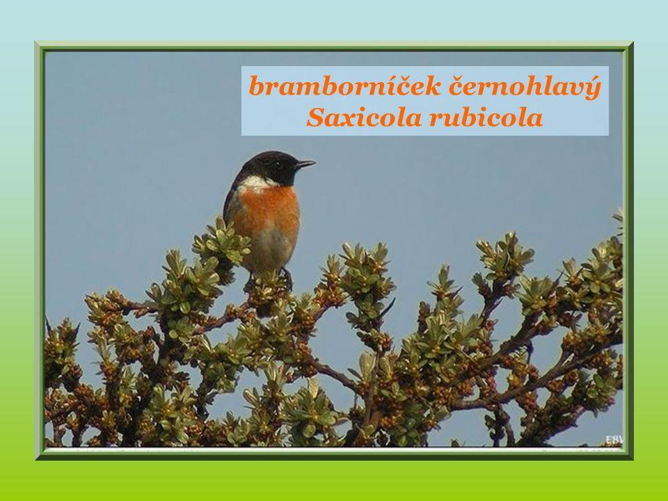 červenka obecná Erithacus rubecula