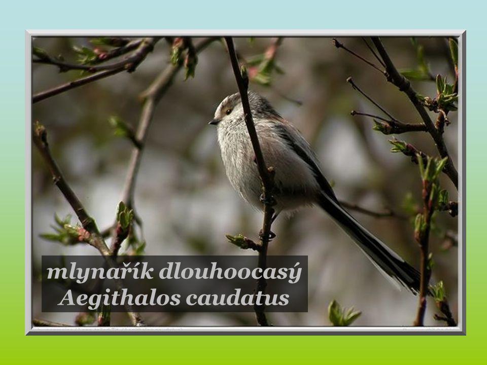 zvonek zelený Carduelis chloris