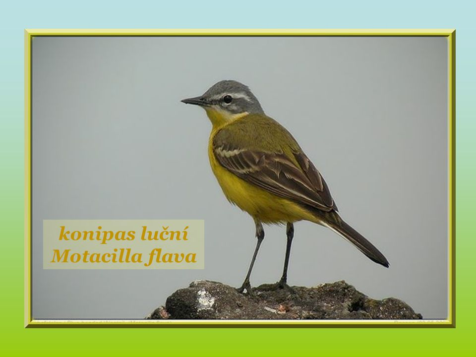 Chouette hulotte. stehlík obecný Carduelis carduelis