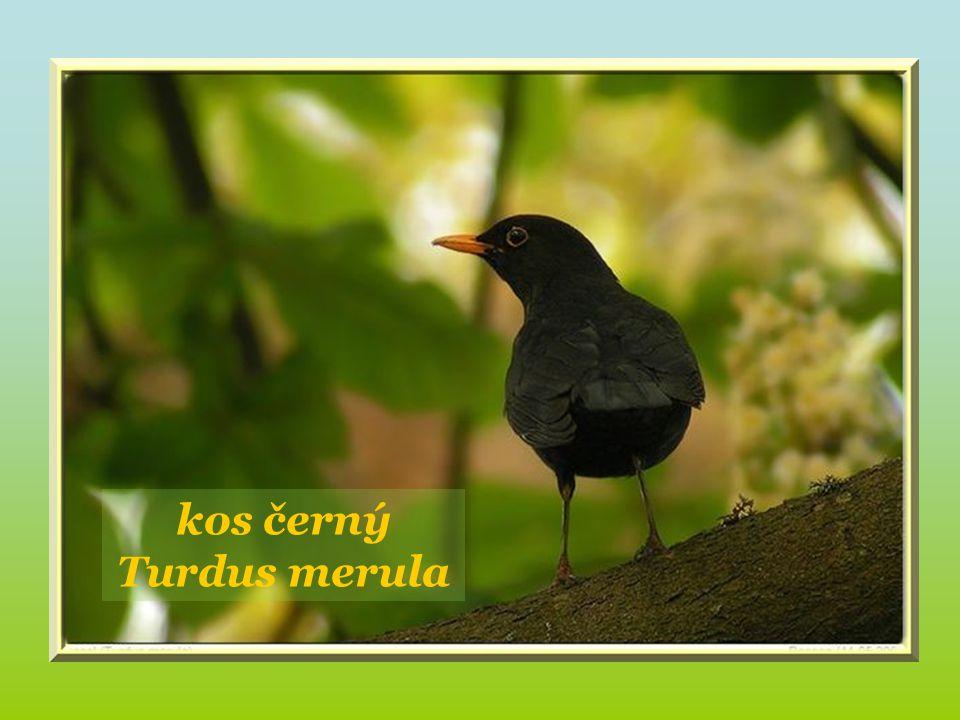 kos černý Turdus merula