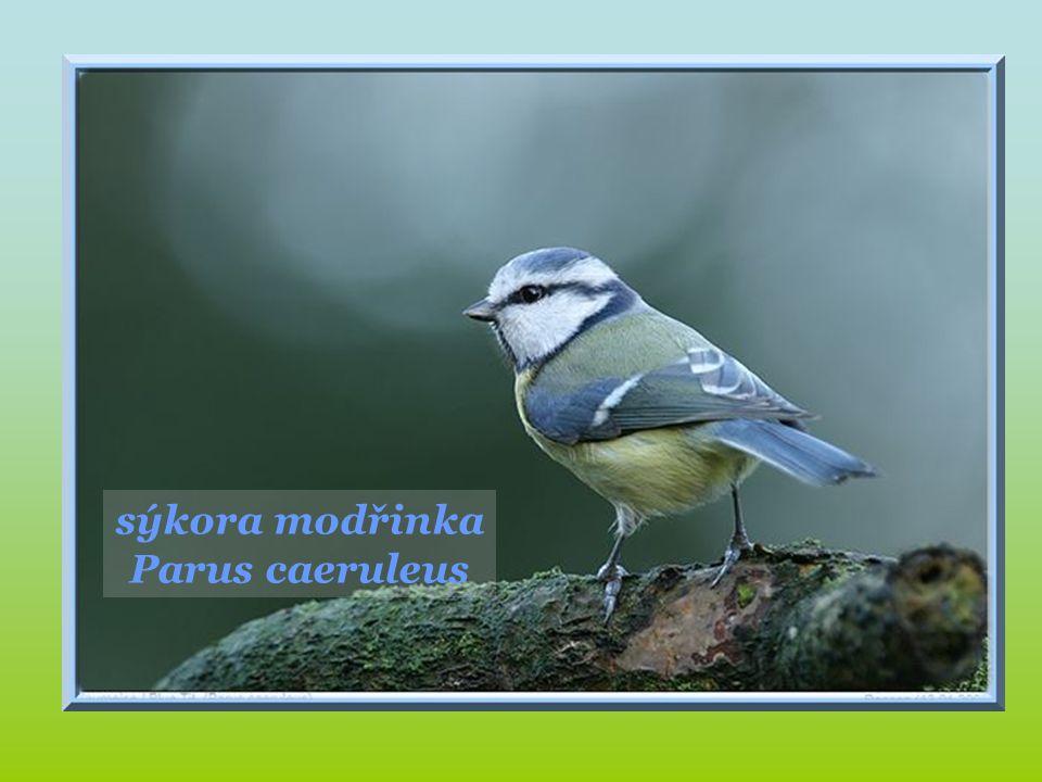 čížek lesní Carduelis spinus