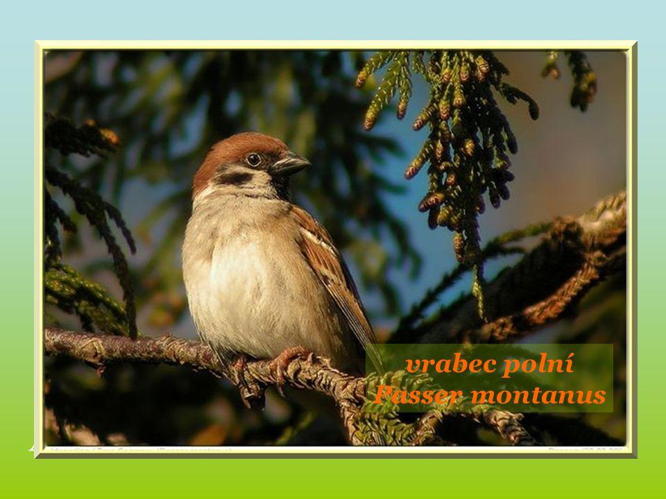 Alouette des champs. vrabec polní Passer montanus