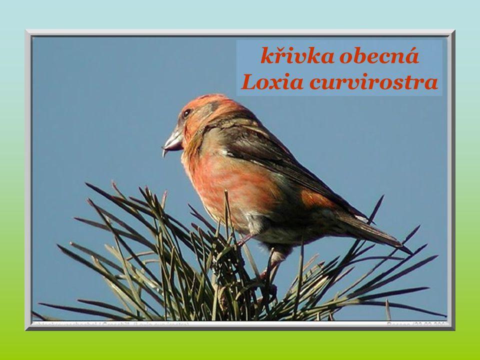 Bec-croisé. křivka obecná Loxia curvirostra