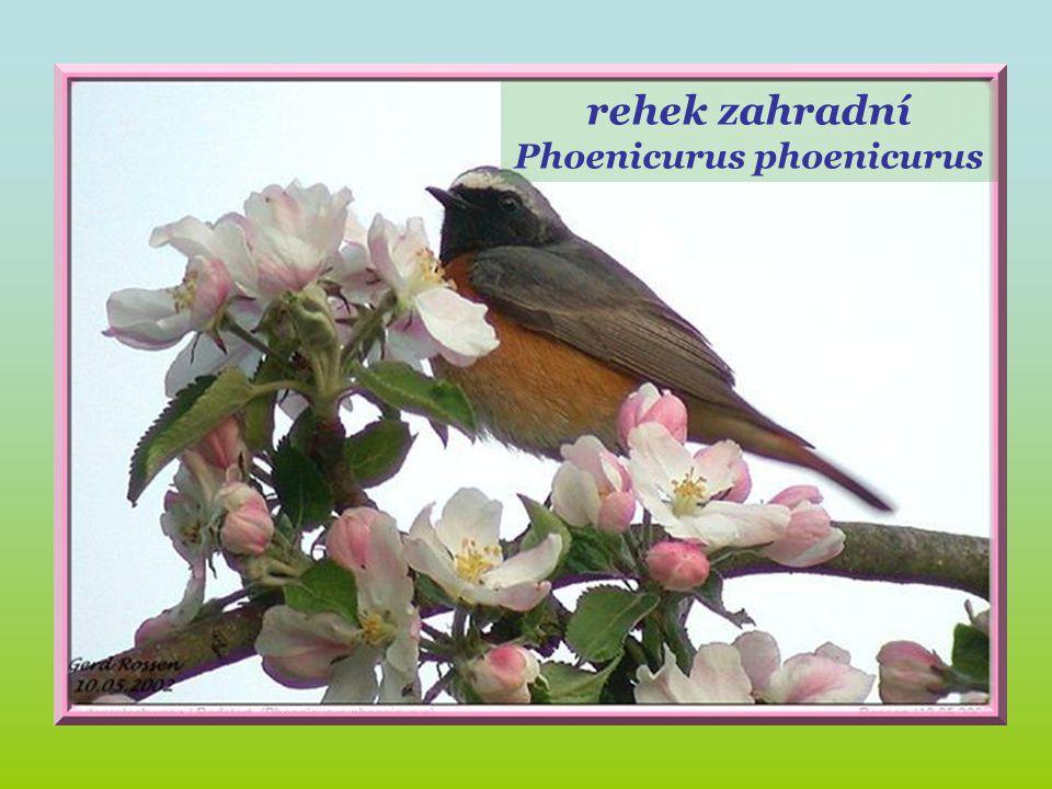 Rouge –queue. rehek zahradní Phoenicurus phoenicurus