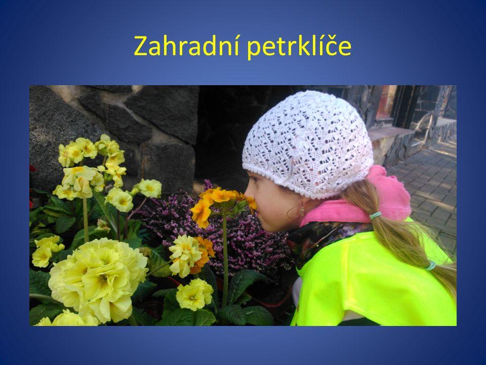 Zahradní petrklíče