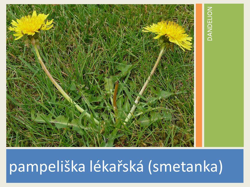 DANDELION pampeliška lékařská (smetanka) www.stockvault.net