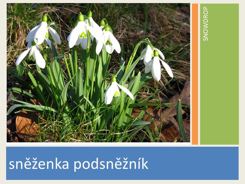 SNOWDROP sněženka podsněžník www.stockvault.net