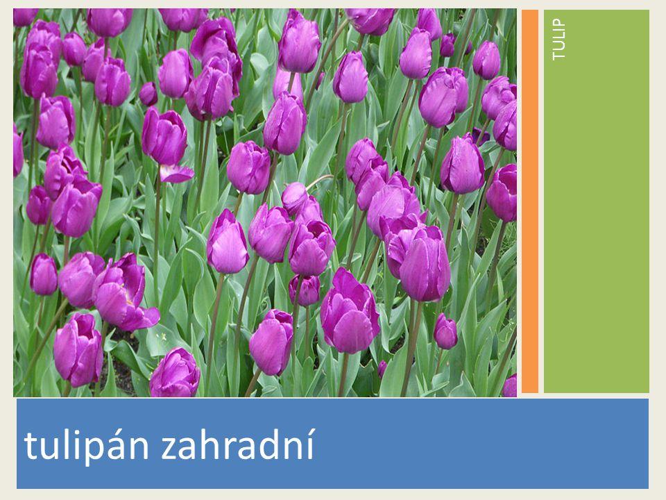 TULIP tulipán zahradní www.stockvault.net