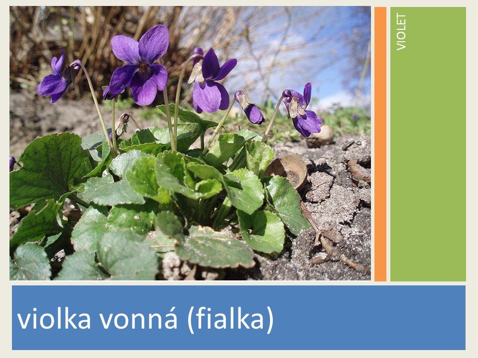 VIOLET violka vonná (fialka) www.stockvault.net