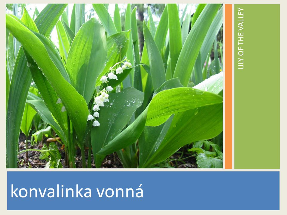 LILY OF THE VALLEY konvalinka vonná www.stockvault.net