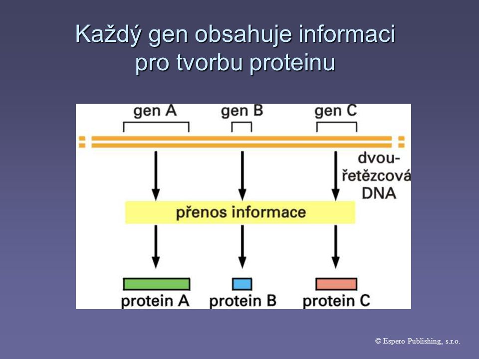 Každý gen obsahuje informaci pro tvorbu proteinu © Espero Publishing, s.r.o.