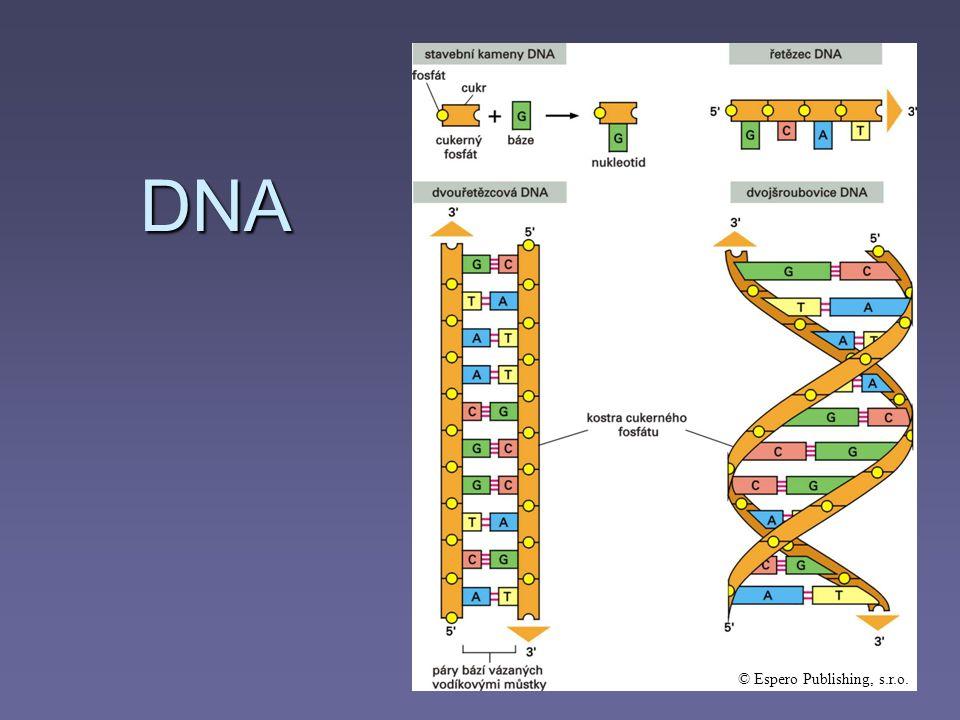 NUKLEOTID základní stavební jednotka DNA cukr fosfát báze