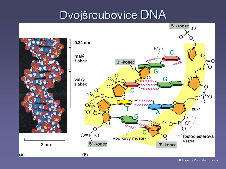 Dvojšroubovice DNA © Espero Publishing, s.r.o.