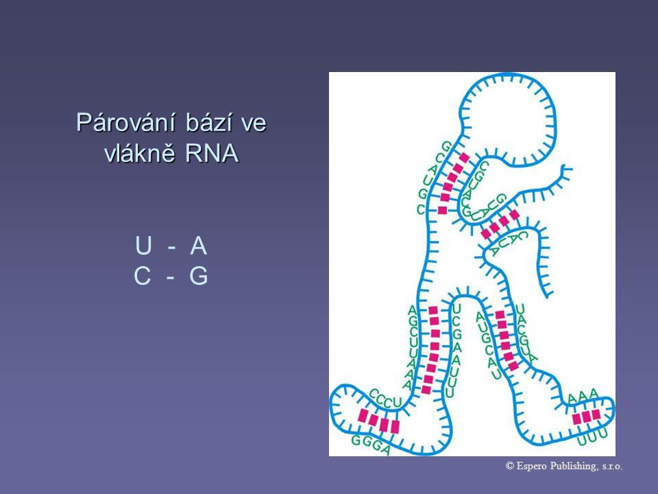 Párování bází ve vlákně RNA Párování bází ve vlákně RNA U - A C - G © Espero Publishing, s.r.o.