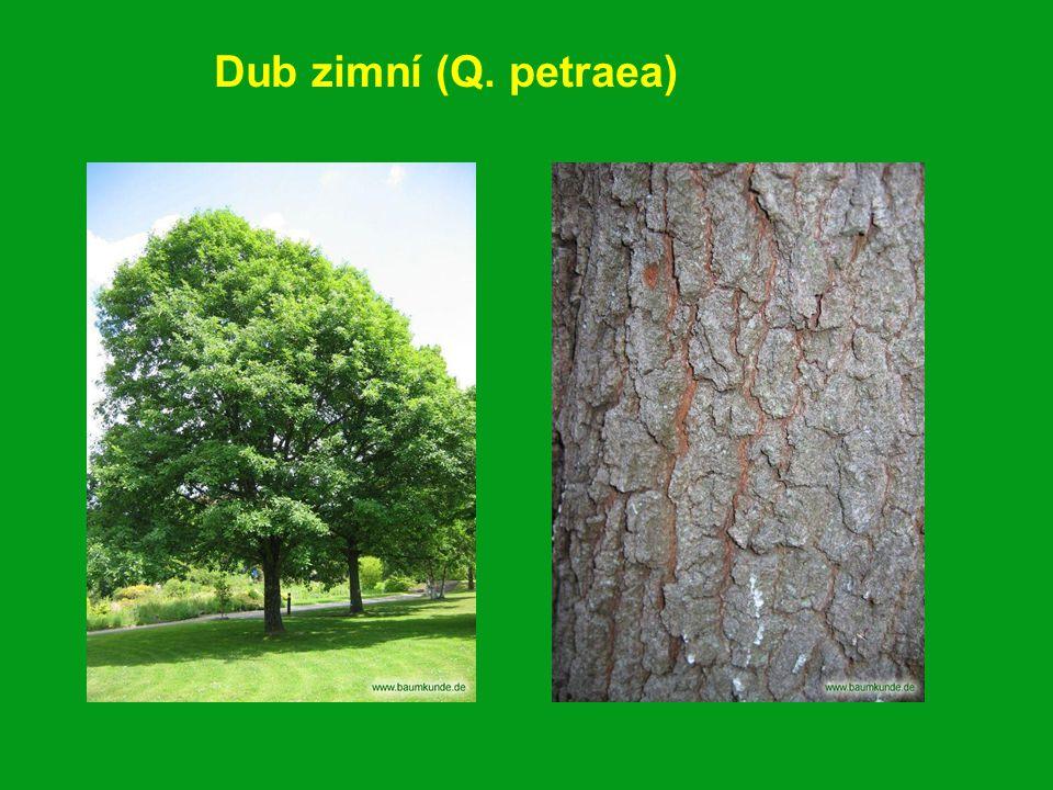 Dub zimní (Q. petraea)