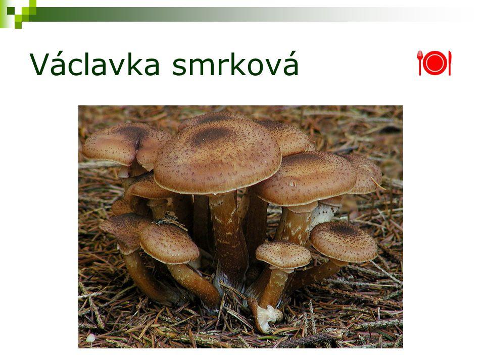 Václavka smrková 