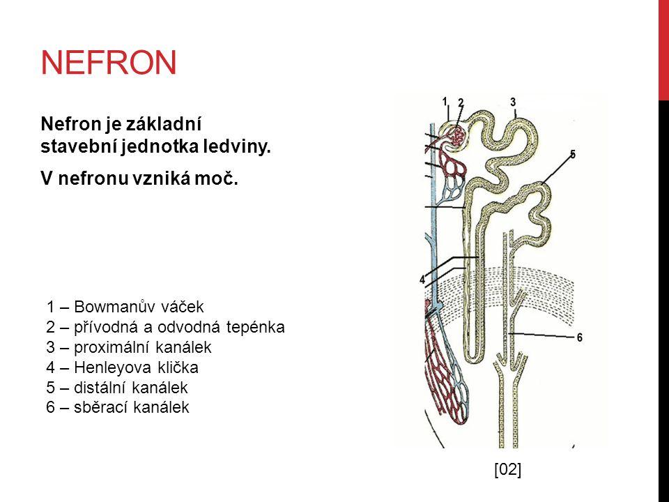 VZNIK MOČI V NEFRONU 1.Z vlásečnic – část plazmy – do Bowmanova váčku (filtrace) 2.V proximálním kanálku – primární moč (obsahuje ještě látky, které tělo potřebuje) 3.Resorpce – vstřebávání látek zpět do krve (glukóza, NaCl, voda) 4.V Henleově kličce – zahušťování moči 5.Do sběracího kanálku – definitivní moč