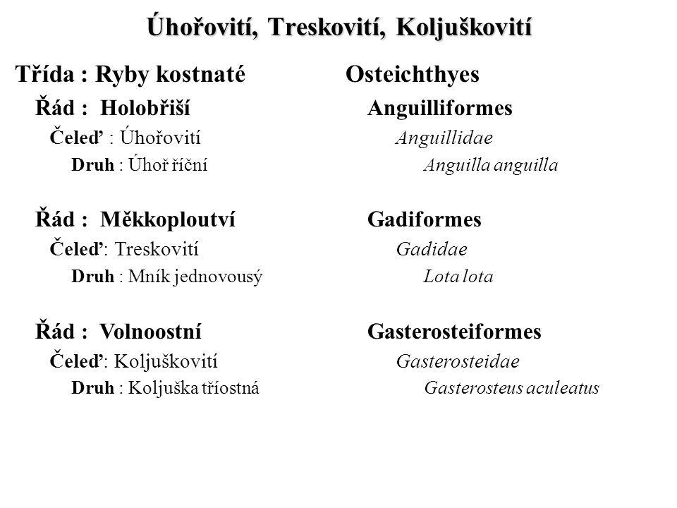 Úhořovití, Treskovití, Koljuškovití Třída : Ryby kostnatéOsteichthyes Řád : HolobřišíAnguilliformes Čeleď : ÚhořovitíAnguillidae Druh : Úhoř říční Ang