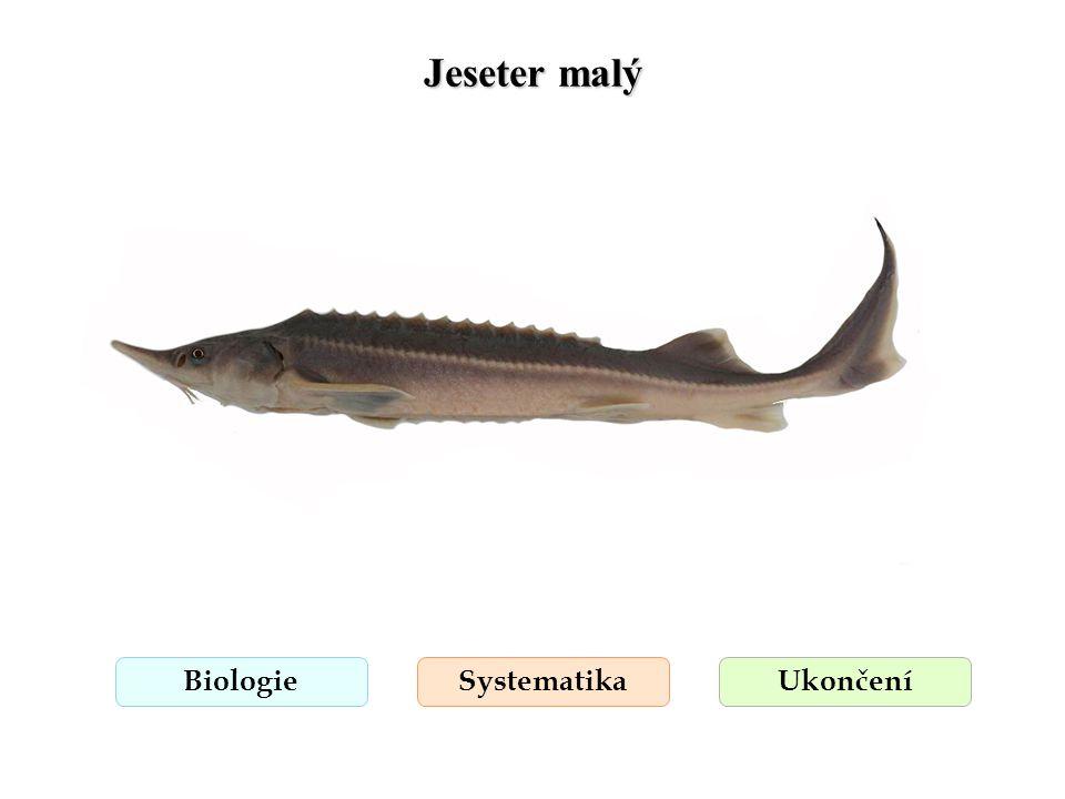Jeseter ruský BiologieSystematikaUkončení