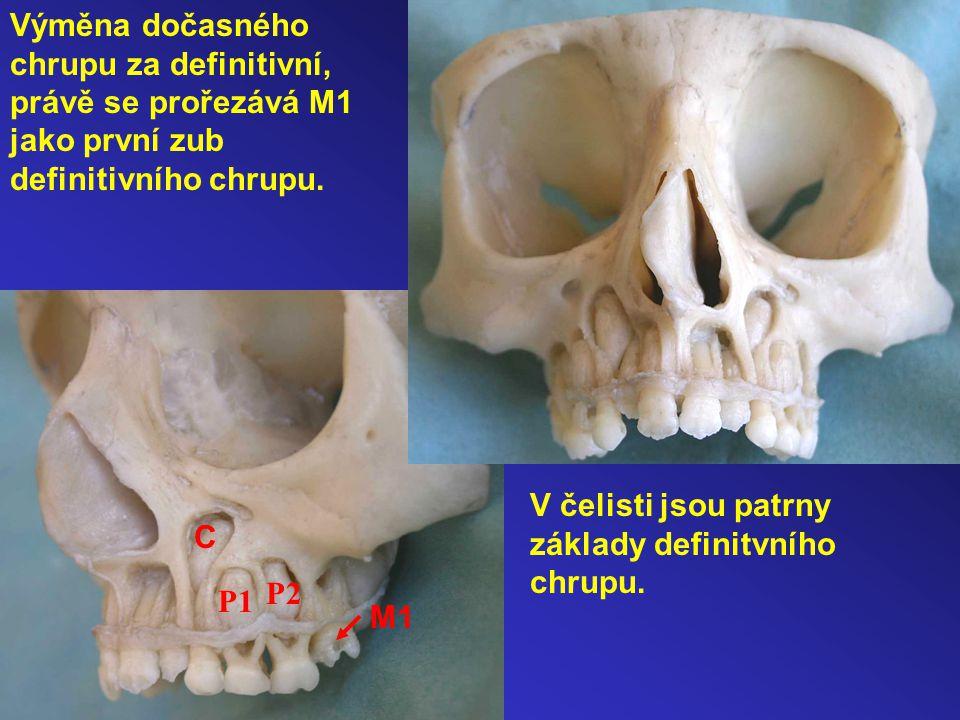 M1 C P1 P2 Výměna dočasného chrupu za definitivní, právě se prořezává M1 jako první zub definitivního chrupu. V čelisti jsou patrny základy definitvní