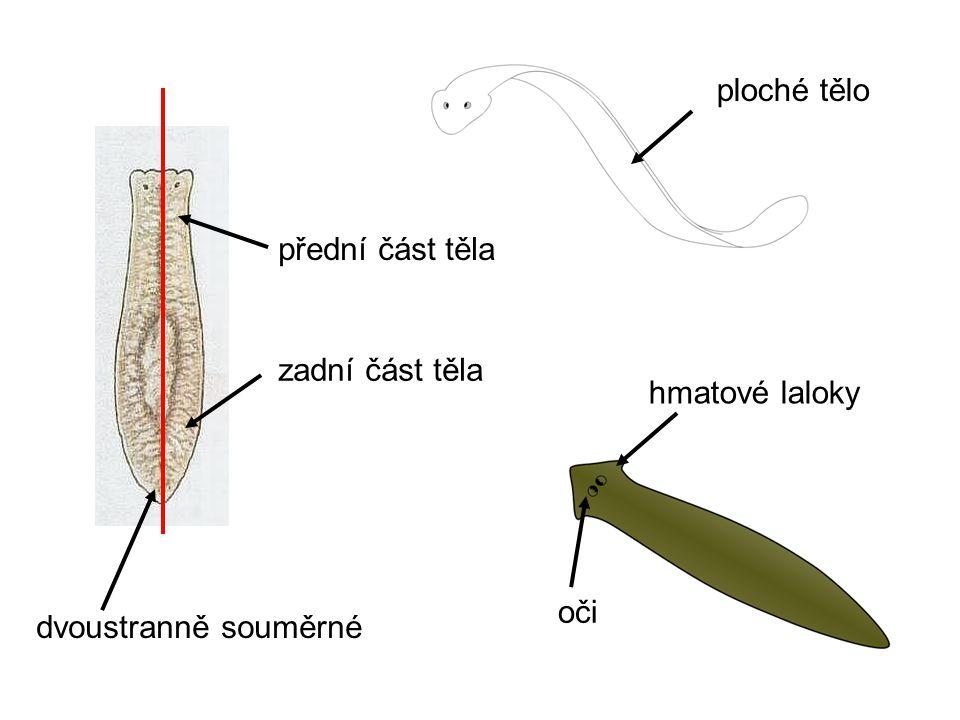 ploché tělo dvoustranně souměrné přední část těla zadní část těla hmatové laloky oči