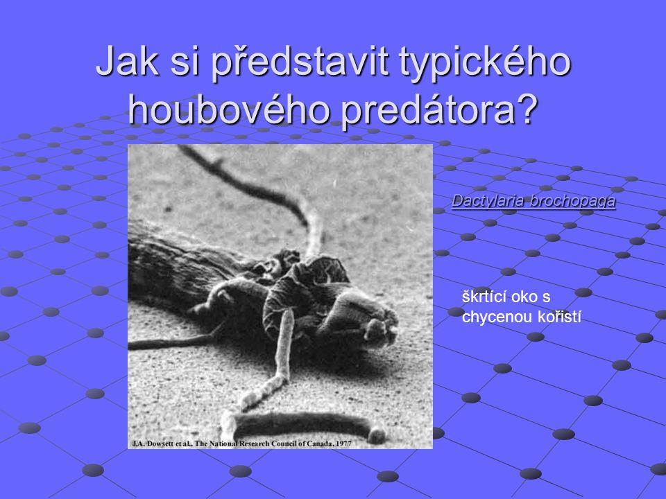 Jak si představit typického houbového predátora? Dactylaria brochopaga Dactylaria brochopaga škrtící oko s chycenou kořistí