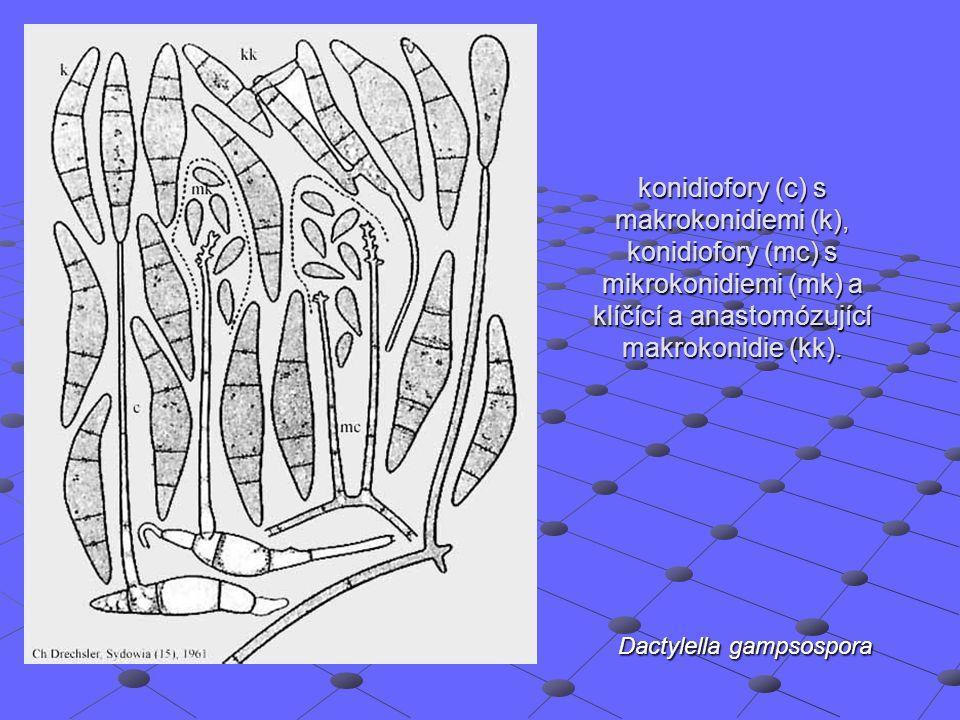 konidiofory (c) s makrokonidiemi (k), konidiofory (mc) s mikrokonidiemi (mk) a klíčící a anastomózující makrokonidie (kk). Dactylella gampsospora