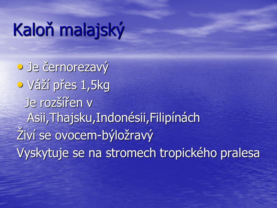 Kaloň malajský Je černorezavý Je černorezavý Váží přes 1,5kg Váží přes 1,5kg Je rozšířen v Asii,Thajsku,Indonésii,Filipínách Je rozšířen v Asii,Thajsku,Indonésii,Filipínách Živí se ovocem-býložravý Vyskytuje se na stromech tropického pralesa