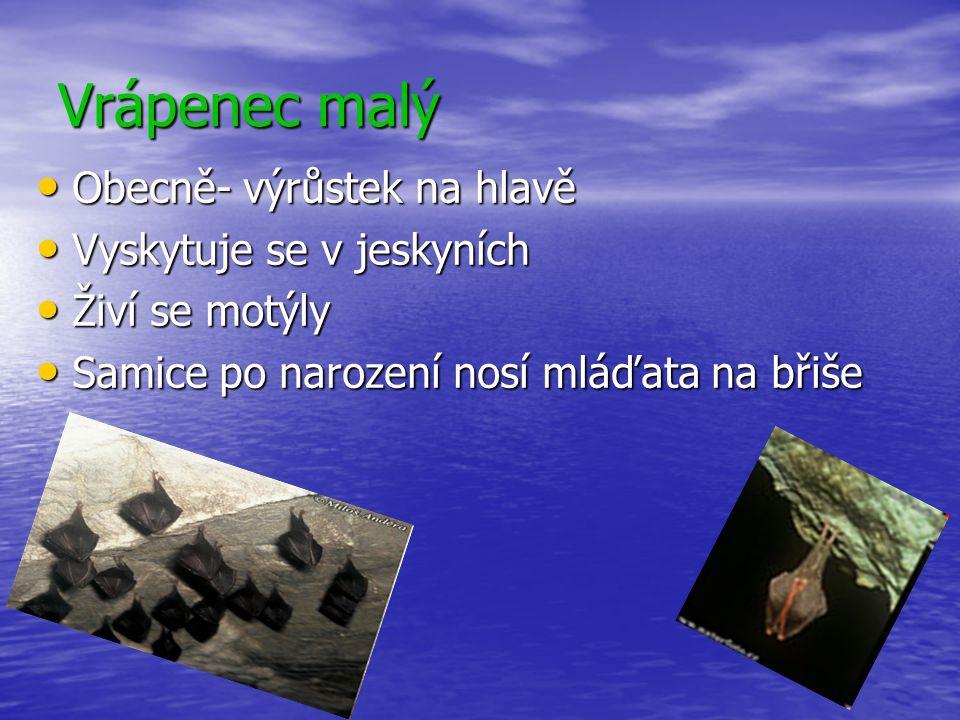 Vrápenec malý Obecně- výrůstek na hlavě Obecně- výrůstek na hlavě Vyskytuje se v jeskyních Vyskytuje se v jeskyních Živí se motýly Živí se motýly Sami