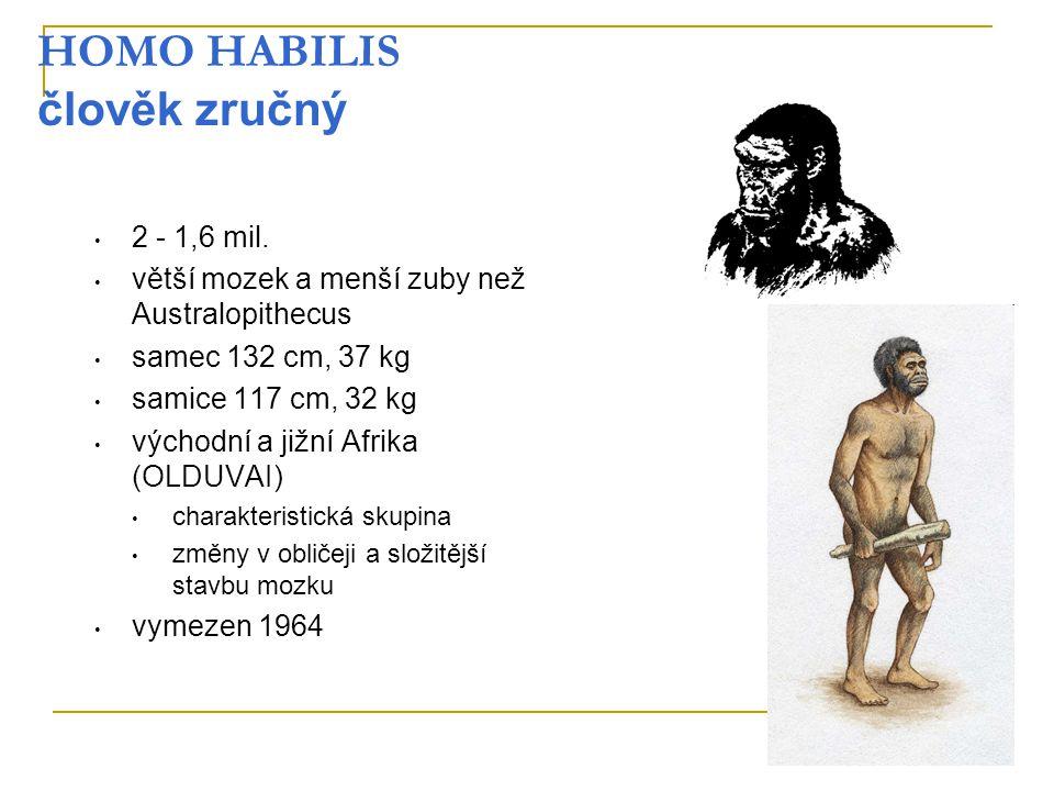 HOMO HABILIS člověk zručný 2 - 1,6 mil. větší mozek a menší zuby než Australopithecus samec 132 cm, 37 kg samice 117 cm, 32 kg východní a jižní Afrika