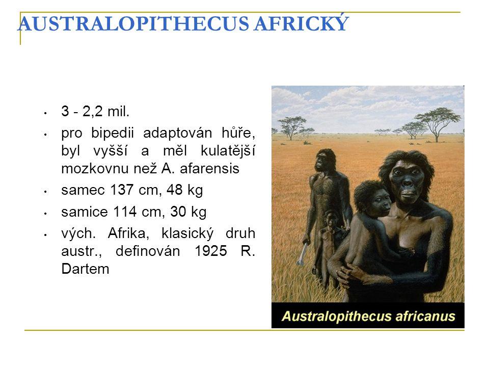 AUSTRALOPITHECUS AFRICKÝ 3 - 2,2 mil. pro bipedii adaptován hůře, byl vyšší a měl kulatější mozkovnu než A. afarensis samec 137 cm, 48 kg samice 114 c