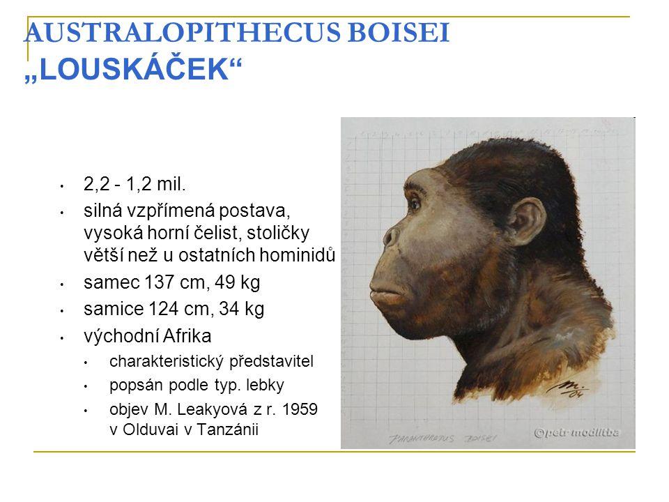 """AUSTRALOPITHECUS BOISEI """"LOUSKÁČEK"""" 2,2 - 1,2 mil. silná vzpřímená postava, vysoká horní čelist, stoličky větší než u ostatních hominidů samec 137 cm,"""