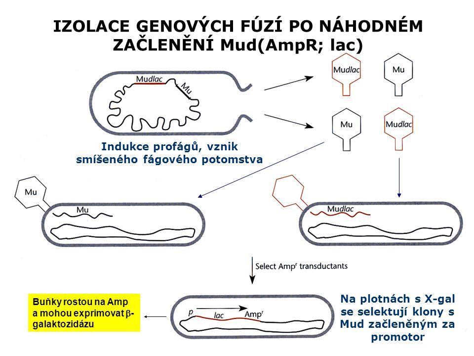 IZOLACE GENOVÝCH FÚZÍ PO NÁHODNÉM ZAČLENĚNÍ Mud(AmpR; lac) Indukce profágů, vznik smíšeného fágového potomstva Na plotnách s X-gal se selektují klony s Mud začleněným za promotor Buňky rostou na Amp a mohou exprimovat  - galaktozidázu