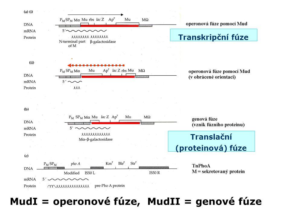 Transkripční fúze Translační (proteinová) fúze MudI = operonové fúze, MudII = genové fúze
