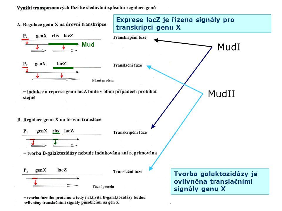 Tvorba galaktozidázy je ovlivněna translačními signály genu X MudI MudII Exprese lacZ je řízena signály pro transkripci genu X Mud