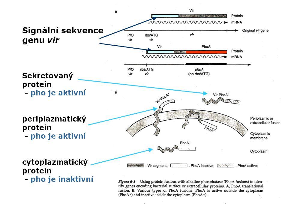 Signální sekvence genu vir Sekretovaný protein - pho je aktivní periplazmatický protein - pho je aktivní cytoplazmatický protein - pho je inaktivní