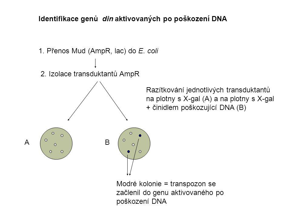 Identifikace genů din aktivovaných po poškození DNA 1. Přenos Mud (AmpR, lac) do E. coli 2. Izolace transduktantů AmpR Razítkování jednotlivých transd
