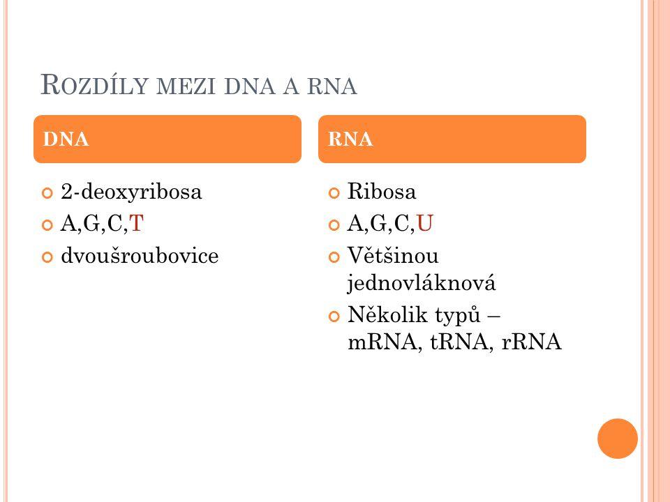 R OZDÍLY MEZI DNA A RNA 2-deoxyribosa A,G,C,T dvoušroubovice Ribosa A,G,C,U Většinou jednovláknová Několik typů – mRNA, tRNA, rRNA DNARNA