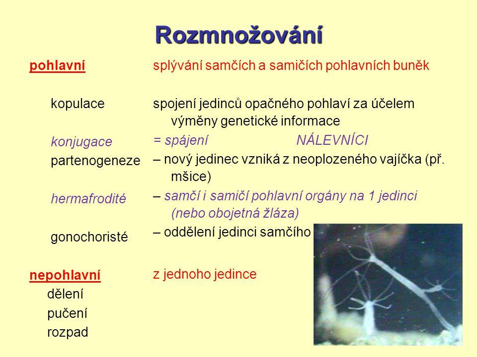 Rozmnožování pohlavní kopulace konjugace partenogeneze hermafrodité gonochoristé nepohlavní dělení pučení rozpad splývání samčích a samičích pohlavníc