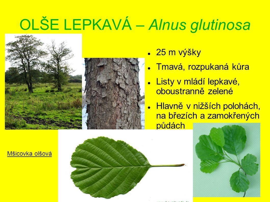 OLŠE LEPKAVÁ – Alnus glutinosa 25 m výšky Tmavá, rozpukaná kůra Listy v mládí lepkavé, oboustranně zelené Hlavně v nižších polohách, na březích a zamo
