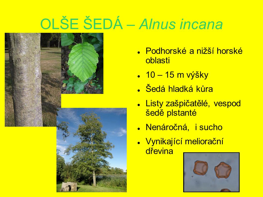 OLŠE ŠEDÁ – Alnus incana Podhorské a nižší horské oblasti 10 – 15 m výšky Šedá hladká kůra Listy zašpičatělé, vespod šedě plstanté Nenáročná, i sucho