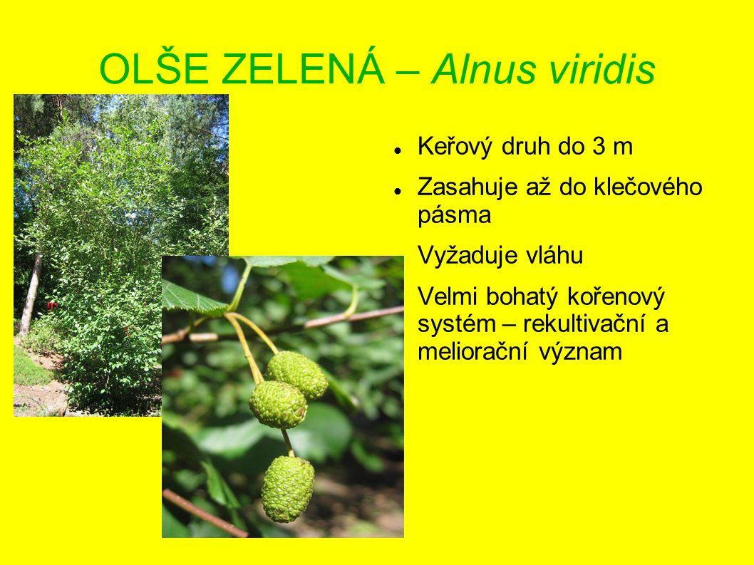 OLŠE ZELENÁ – Alnus viridis Keřový druh do 3 m Zasahuje až do klečového pásma Vyžaduje vláhu Velmi bohatý kořenový systém – rekultivační a meliorační