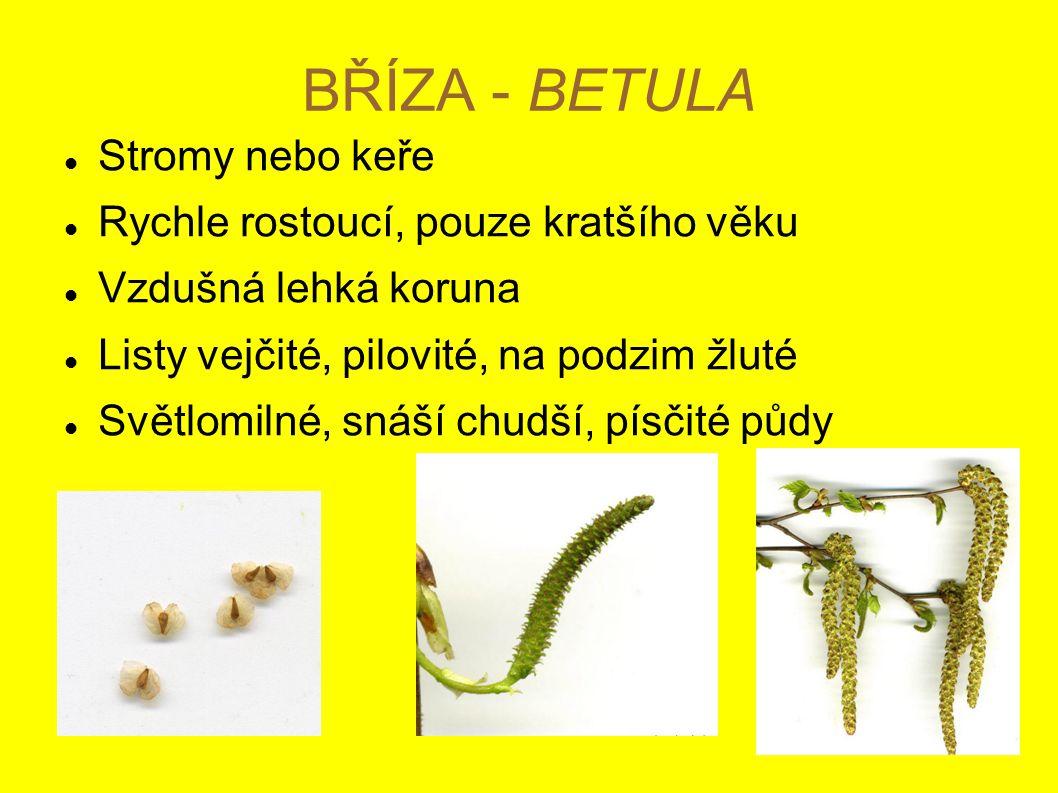 BŘÍZA - BETULA Stromy nebo keře Rychle rostoucí, pouze kratšího věku Vzdušná lehká koruna Listy vejčité, pilovité, na podzim žluté Světlomilné, snáší