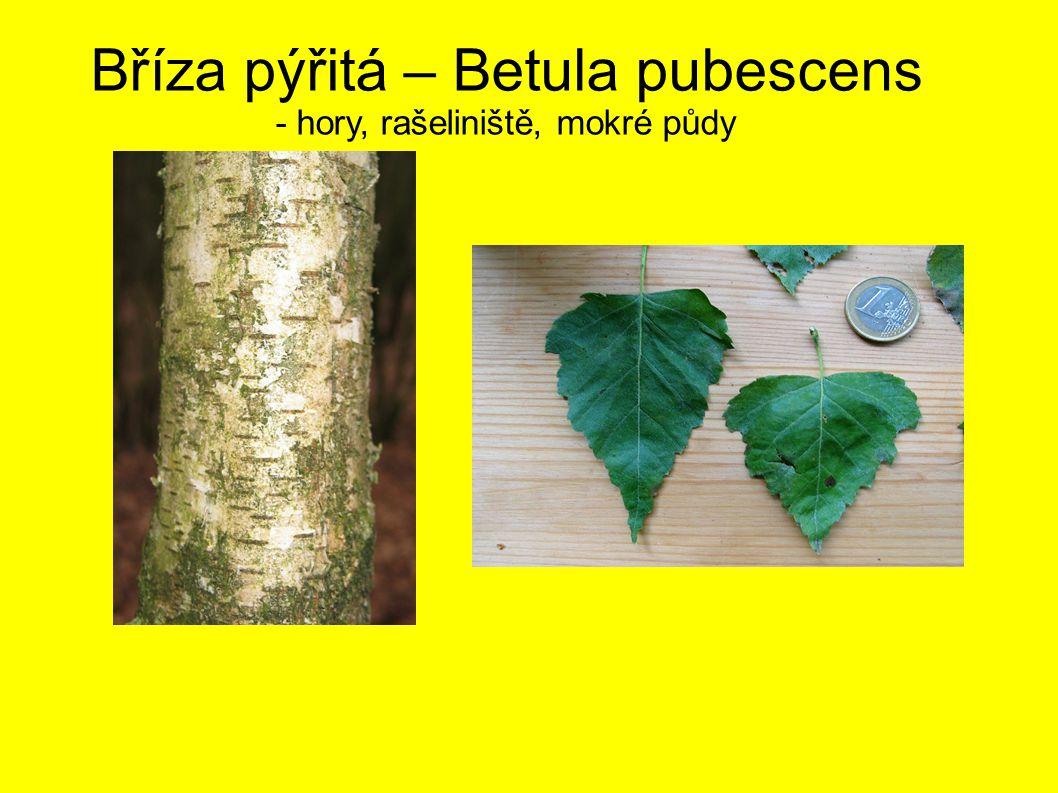 Bříza pýřitá – Betula pubescens - hory, rašeliniště, mokré půdy