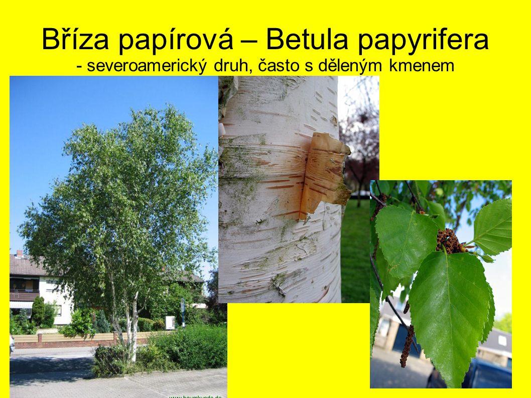 Bříza papírová – Betula papyrifera - severoamerický druh, často s děleným kmenem