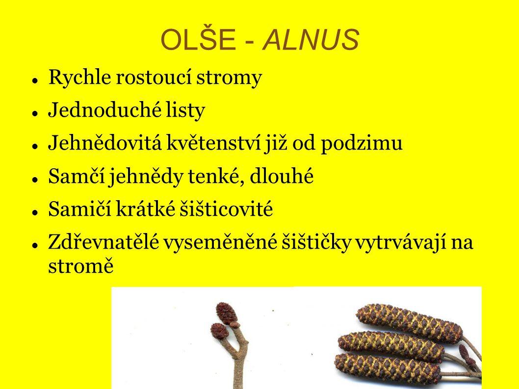 OLŠE - ALNUS Rychle rostoucí stromy Jednoduché listy Jehnědovitá květenství již od podzimu Samčí jehnědy tenké, dlouhé Samičí krátké šišticovité Zdřev