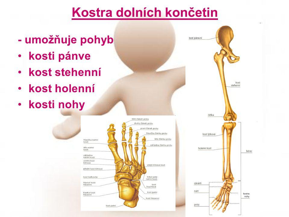 Kostra dolních končetin - umožňuje pohyb kosti pánve kost stehenní kost holenní kosti nohy