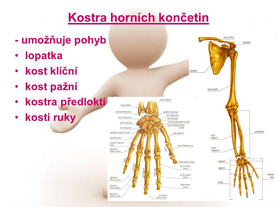 Kostra horních končetin - umožňuje pohyb lopatka kost klíční kost pažní kostra předloktí kosti ruky
