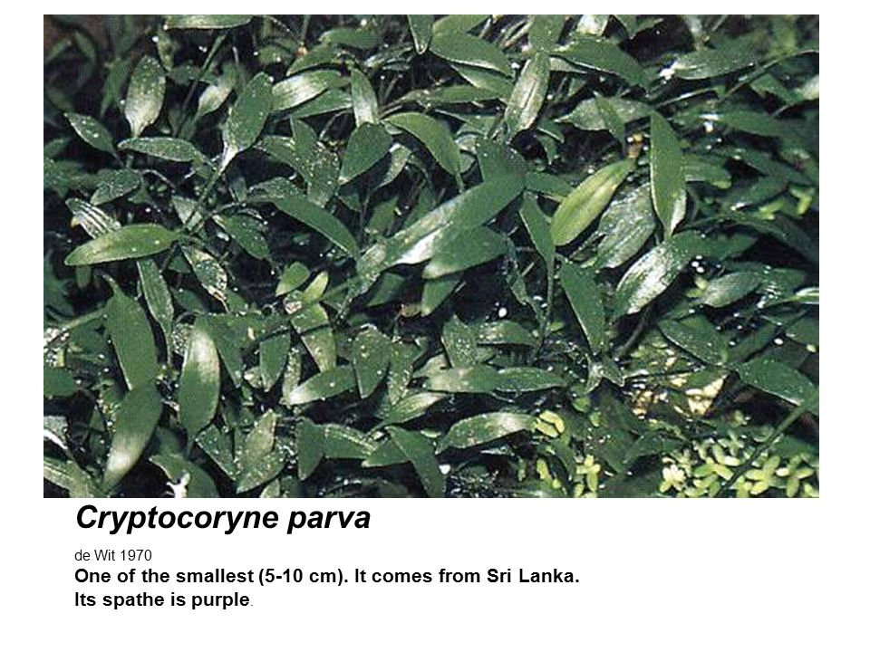 Cryptocoryne parva de Wit 1970 One of the smallest (5-10 cm).