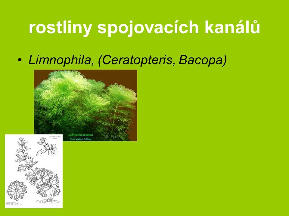 rostliny spojovacích kanálů Limnophila, (Ceratopteris, Bacopa)